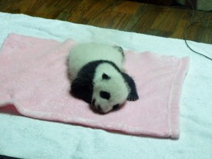 chengdu-babypanda