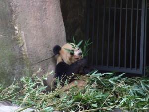 cqzoo-panda