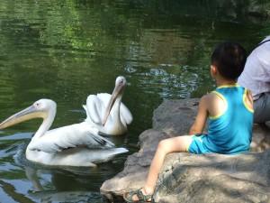 cqzoo-pelikane